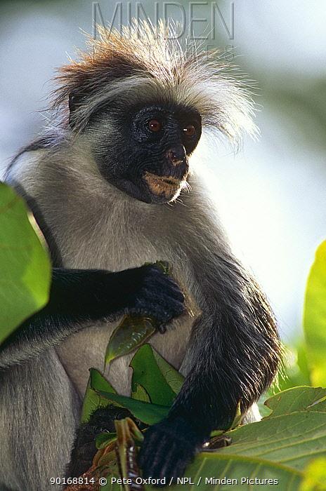 Kirk's colobus (Colobus kirkii) Jozani Forest Reserve, Zanzibar  -  Pete Oxford/ npl