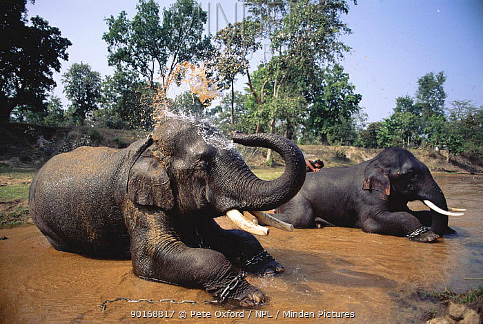 Indian Elephants (Elephas maximus) bath time Bandhavgarh NP India  -  Pete Oxford/ npl