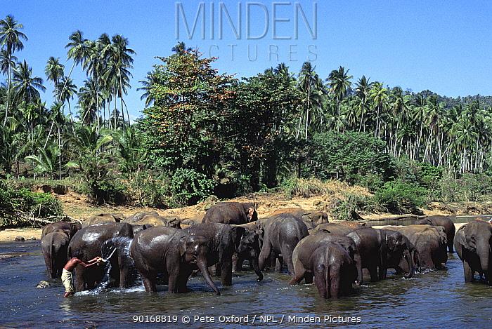 Indian elephants (Elephas maximus) being washed in river, Pinnawela Orphanage, Sri Lanka  -  Pete Oxford/ npl