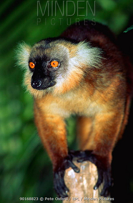 Female Black Lemur (Lemur macaco) Madagascar  -  Pete Oxford/ npl