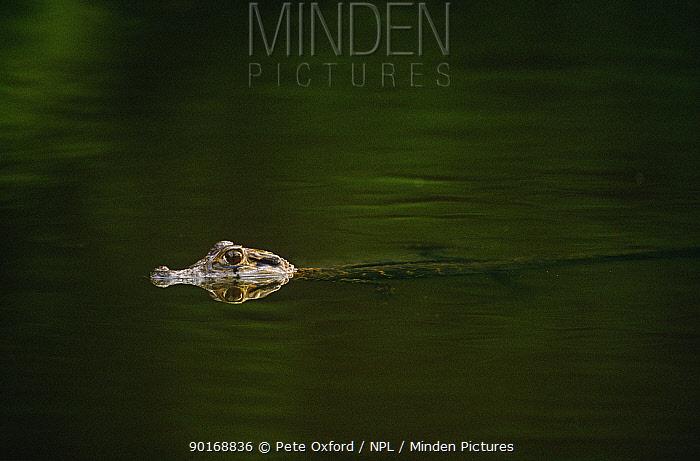 Black caiman juvenile semi submerged at water surface (Caiman niger) Manu NP, Peru  -  Pete Oxford/ npl