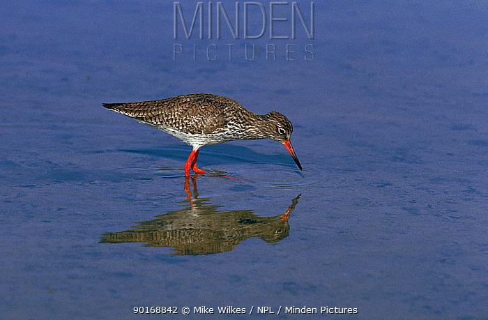 Redshank (Tringa totanus) foraging, Spain, Europe  -  Mike Wilkes/ npl