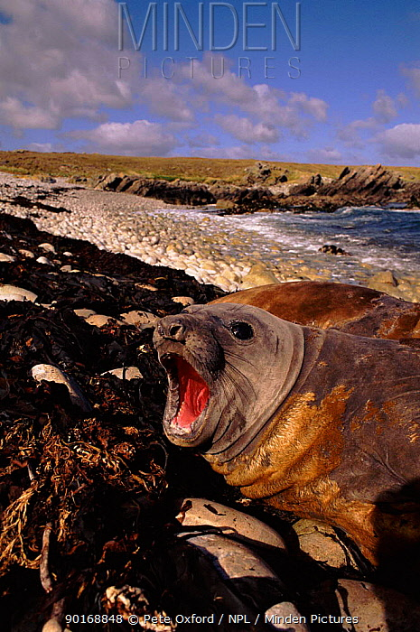 Southern Elephant seal moulting (Mirounga leonina) East Falkland Island, Antarctica  -  Pete Oxford/ npl