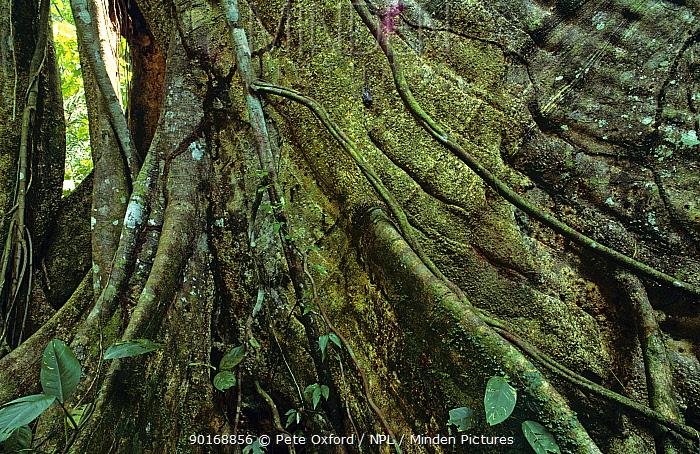 Fig tree (Ficus sp) buttress roots in Manu NP, Peru South America  -  Pete Oxford/ npl