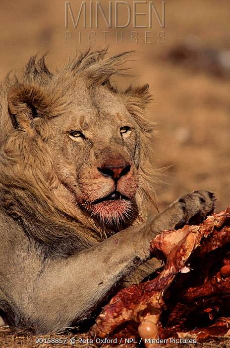 Male lion feeding on carcass South Africa, Krugers Dopp Rhino Reserve  -  Pete Oxford/ npl