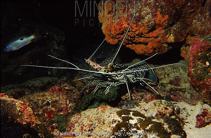 Painted crawfish in reef Abuthama reef, Bahrain  -  Francis Abbott/ npl
