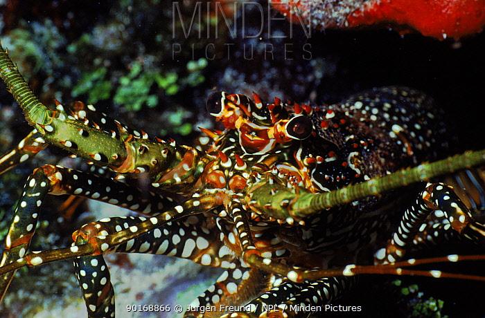 Rock lobster, Caribbean  -  Jurgen Freund/ npl