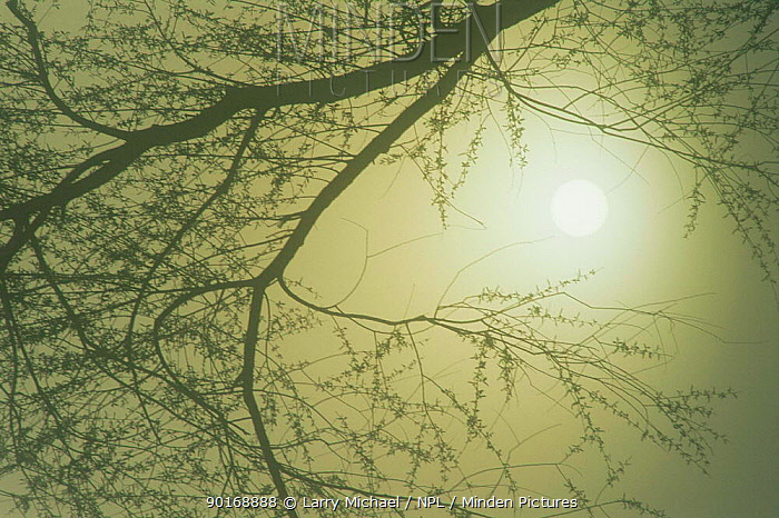 Sun shining through bare tree branch in winter fog, Wisconsin, USA  -  Larry Michael/ npl