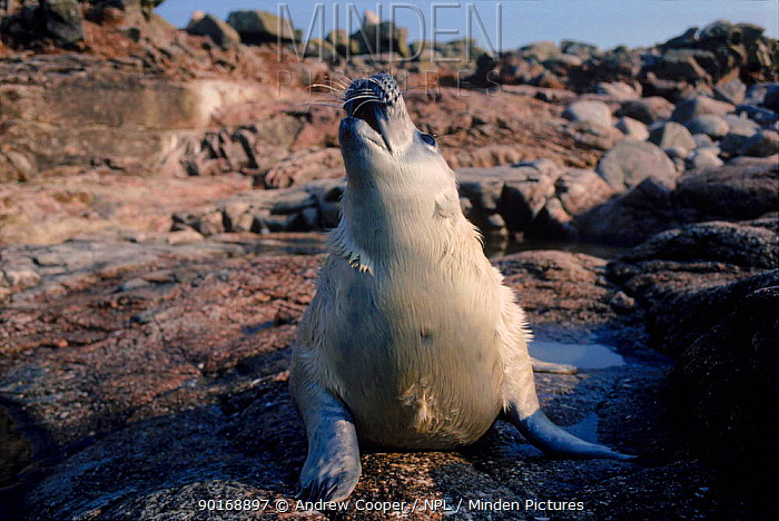 Grey seal pup (Halichoerus grypus) howling, 2 weeks old Scilly Isles, UK, Europe  -  Andrew Cooper/ npl