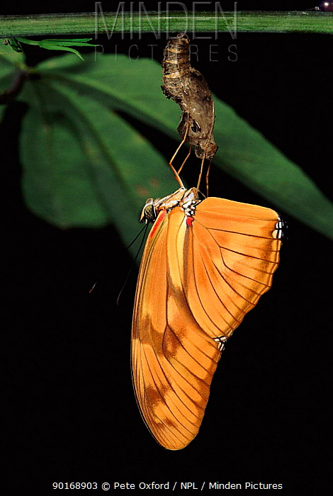 Flambeau butterfly newly emerged from chrysalis, Amazon, Ecuador  -  Pete Oxford/ npl