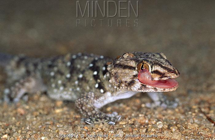 Garrulous gecko licking eye (Ptenopus garrulus) S Africa, Kalahari Gemsbok Park  -  Tony Heald/ npl
