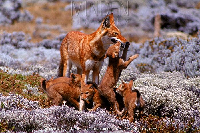 Simien jackal (Ethiopian wolf) with cubs Sanetti plateau, Ethiopia  -  Charlie Hamilton James/ npl