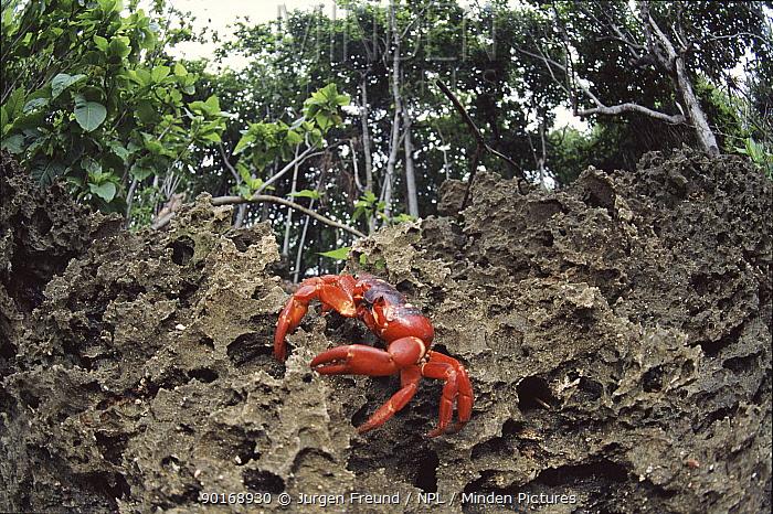 Christmas Island red crab climbing inland cliff  -  Jurgen Freund/ npl