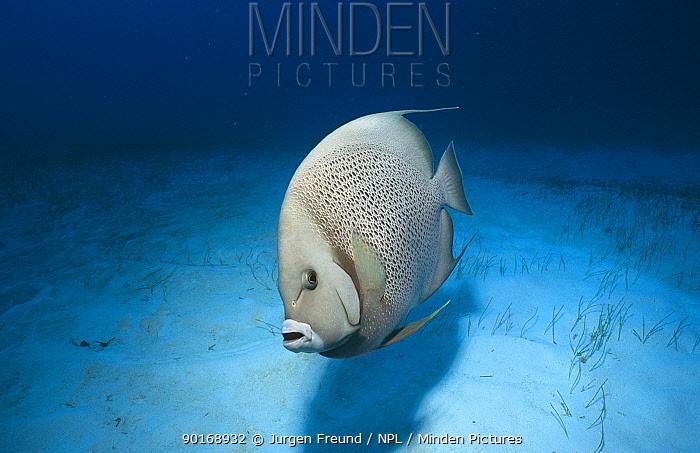 Grey Angelfish (Pomacanthus arcuatus) Caribbean  -  Jurgen Freund/ npl