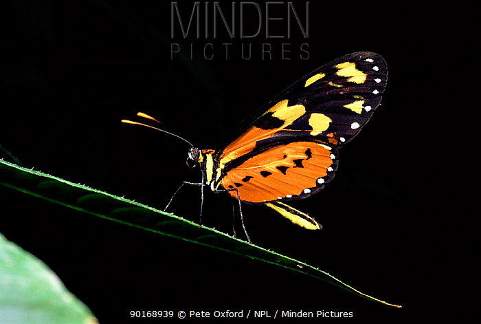 Amazon butterfly Tropical-rainforest, Ecuador  -  Pete Oxford/ npl