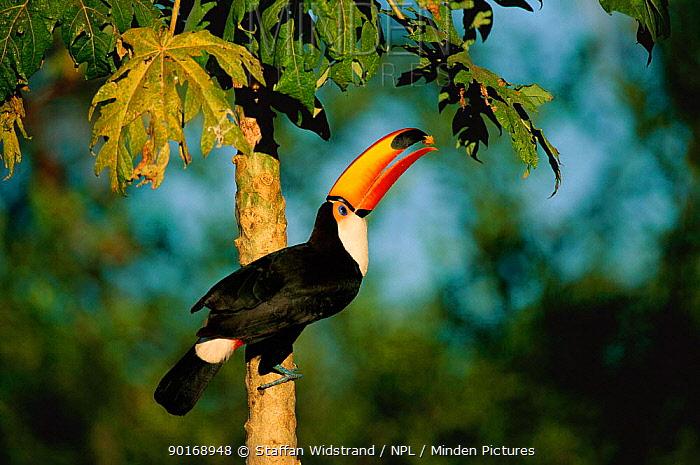 Toco toucan feeding in tree, (Ramphastos toco) Pantanal, Mato Grosso, Brazil  -  Staffan Widstrand/ npl
