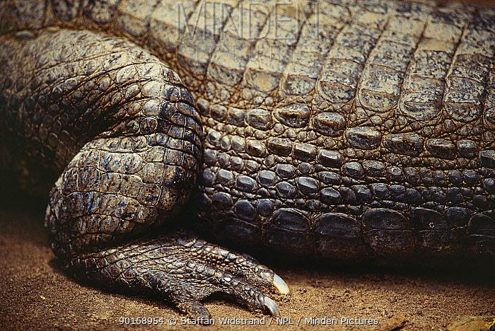 Close up of Black caiman leg and foot (Caiman niger) Manaus, Brazil  -  Staffan Widstrand/ npl