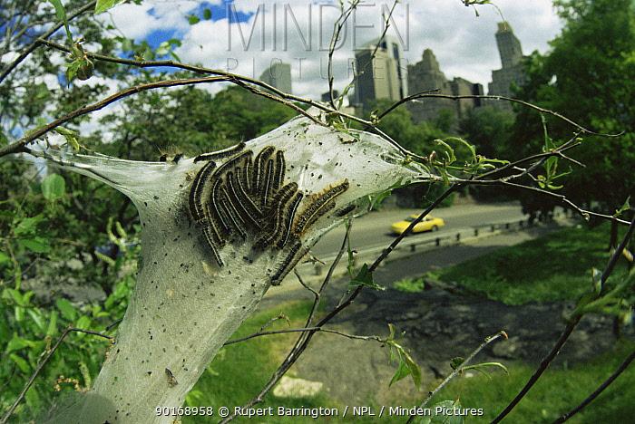 Caterpillar larvae of Eastern tent moth (Malacosoma americanum) on silken spun tent, Central Park, New York, USA  -  Rupert Barrington/ npl