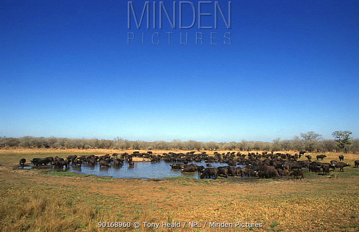 Large herd of African buffalo drinking at waterhole (Syncerus caffer) Kruger NP, South Africa  -  Tony Heald/ npl
