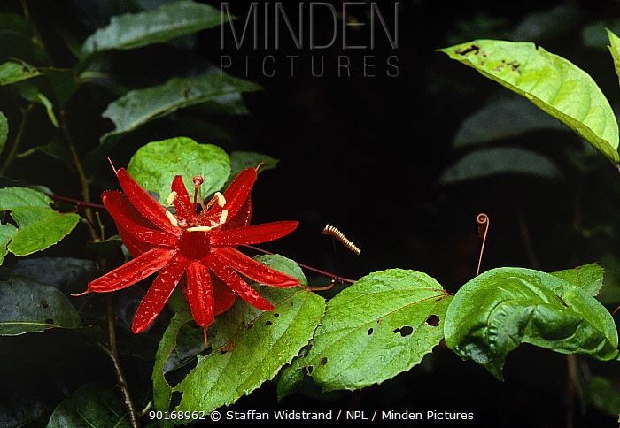 Passion fruit flower (Passiflora sp) Guyana  -  Staffan Widstrand/ npl