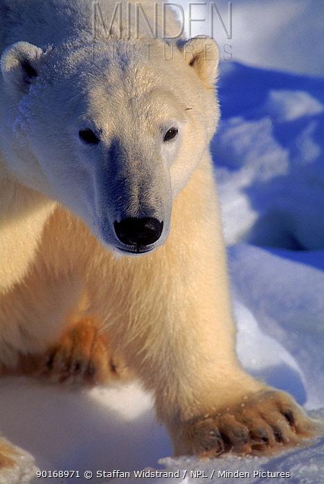 Head portrait of Polar bear (Ursus maritimus), Churchill, Manitoba, Canada  -  Staffan Widstrand/ npl
