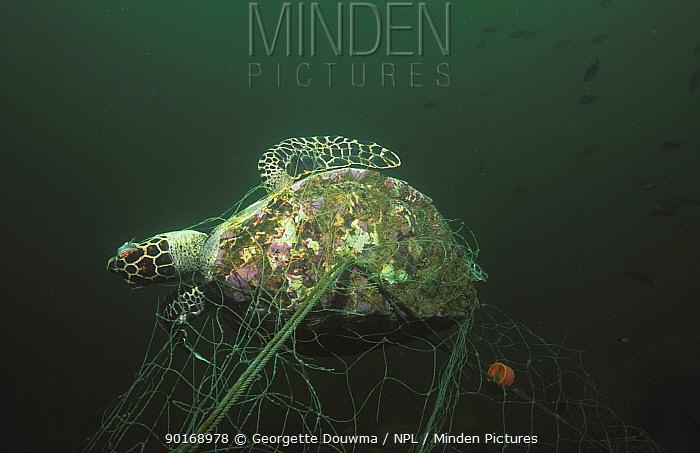 Young hawksbill turtle caught in net (Eretmochelys imbricata) Andaman Sea, Thailand  -  Georgette Douwma/ npl