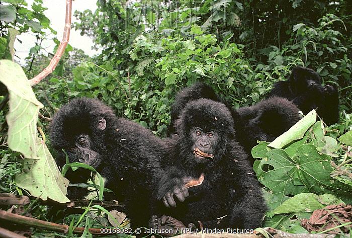 Mountain gorilla group feeding (Gorilla gorilla beringei) Virunga NP, Democratic Republic of Congo, formerly Zaire  -  Jabruson/ npl