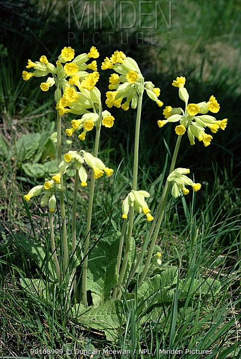 Cowslips on railway embankment (Primula veris) England, UK  -  Duncan McEwan/ npl