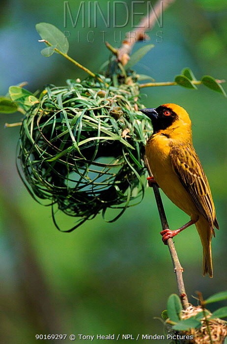 Male African masked weaver bird building nest, South Africa  -  Tony Heald/ npl