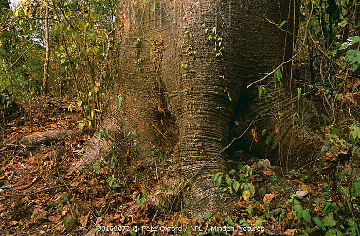 Large base of Pijio, Cuipo tree (Cavanillesia platanifolia), Cerro Blanco, Ecuador  -  Pete Oxford/ npl