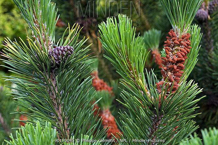 Male flowers and developing cones on Swiss Mountain Pine (Pinus mugo), arboretum, Belgium  -  Philippe Clement/ npl