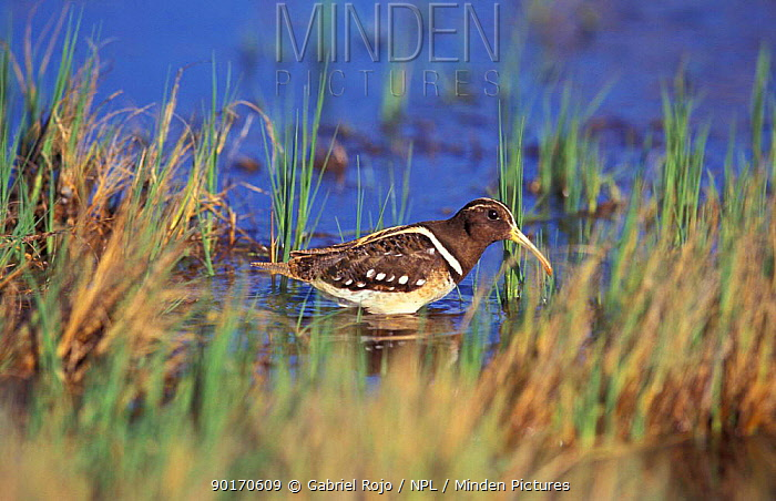 South America painted snipe in water (Nycticryphes semicollaris) Macachin Argentina  -  Gabriel Rojo/ npl