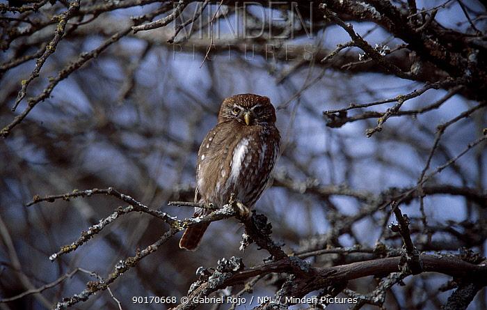 Ferruginous pygmy owl (Glaucidium brasilianum) La Pampa, Argentina Macachin, Pampa  -  Gabriel Rojo/ npl
