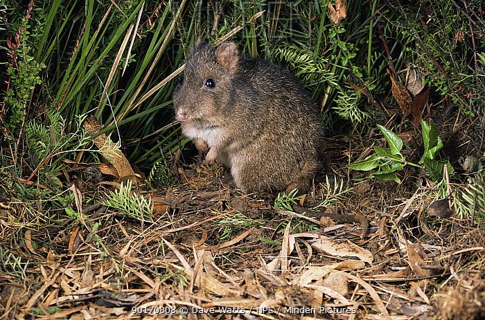 Long-nosed Potoroo (Potorous tridactylus) at night, Tasmania, Australia  -  Dave Watts/ npl