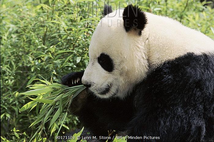 Giant Panda eating bamboo, Wolong Nature Reserve, Sichuan, China Captive  -  Lynn M. Stone/ npl