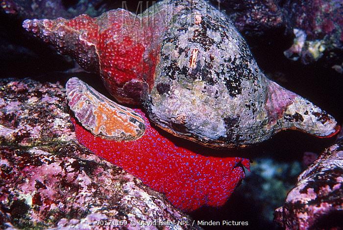 Panamic horse conch (Pleuroploca princeps) Galapagos  -  David Hall/ npl