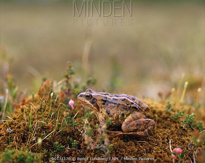 Moor Frog (Rana arvalis) Sweden  -  Bengt Lundberg/ npl
