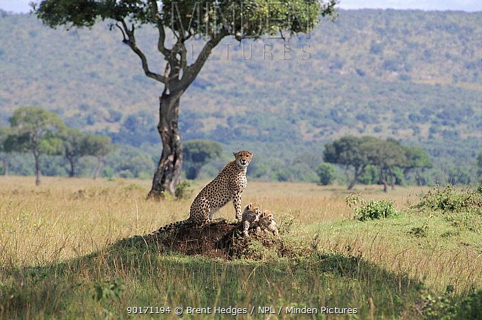 Female Cheetah with cubs, Masai Mara, Kenya  -  Brent Hedges/ npl