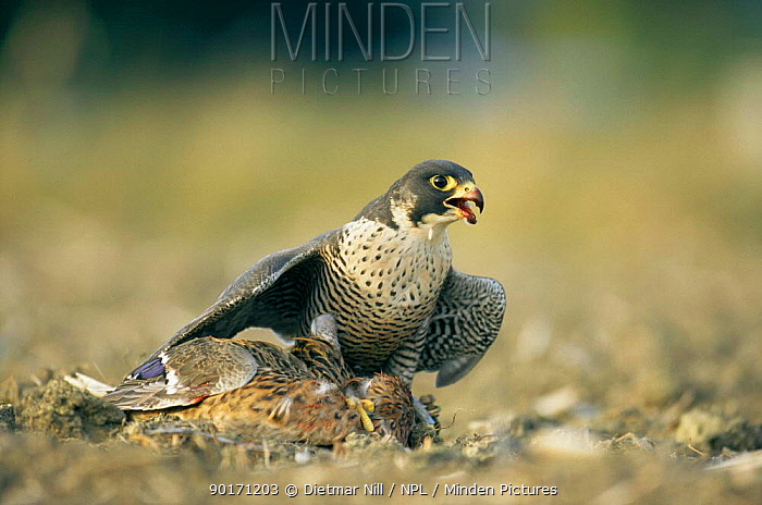 Peregrine falcon (Falco peregrinus) feeding on prey, captive, Germany  -  Dietmar Nill/ npl