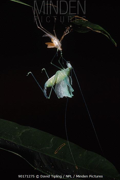 Katydid (Tettigoniidae) undergoing ecdysis, moulting out of old skin, Manu, Peru  -  David Tipling/ npl