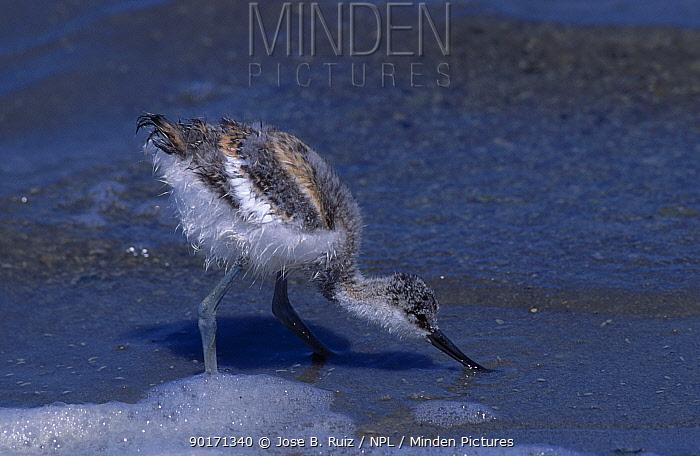 Juvenile Avocet feeding at shoreline (Recurvirostra avosetta) Alicante Spain  -  Jose B. Ruiz/ npl
