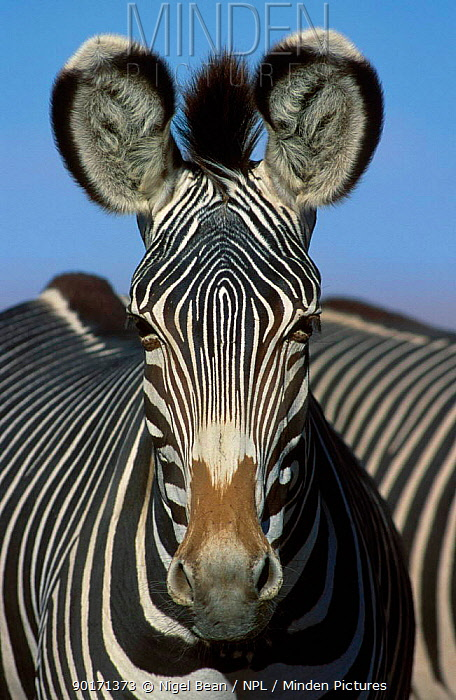 Grevy zebra head portrait (Equus grevyi) captive angered  -  Nigel Bean/ npl