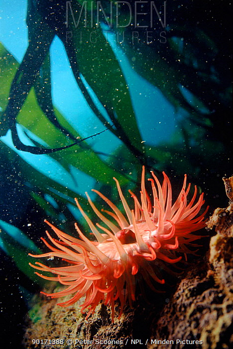 Sea anemone (Actinia equina) in kelp (Laminaria sp) England, UK, North Atlantic  -  Peter Scoones/ npl