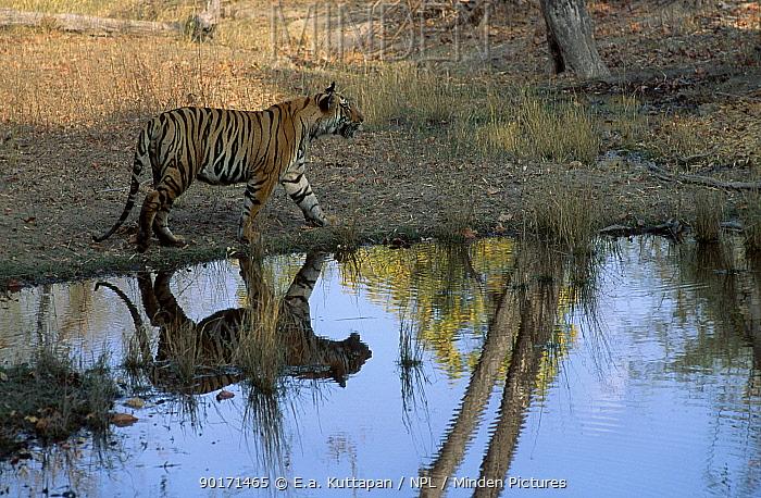Bengal tiger walking beside waterhole (Panthera tigris tigris) Bandhavgarh NP MP India  -  E.A. Kuttapan/ npl