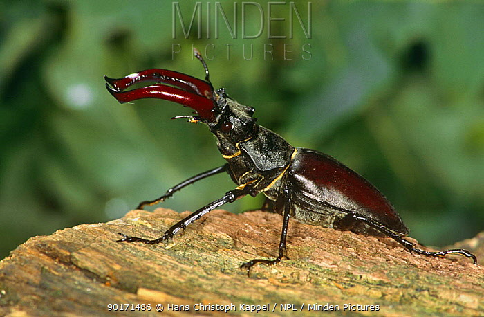 Stag beetle male (Lucanus cervus) Germany, captive  -  Hans Christoph Kappel/ npl