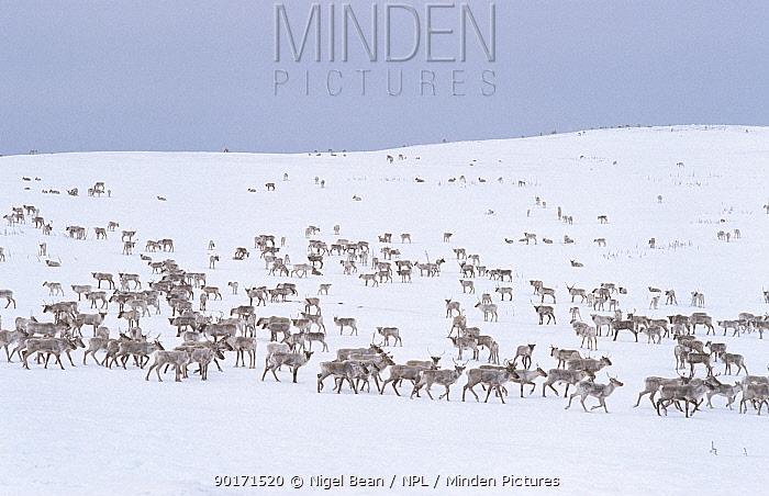 Herd of Caribou (Rangifer tarandus) in snow, annual migration, near Goose Bay, Labrador, Canada  -  Nigel Bean/ npl