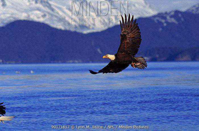 Bald eagle in flight Alaska, Kenai Peninsula  -  Lynn M. Stone/ npl