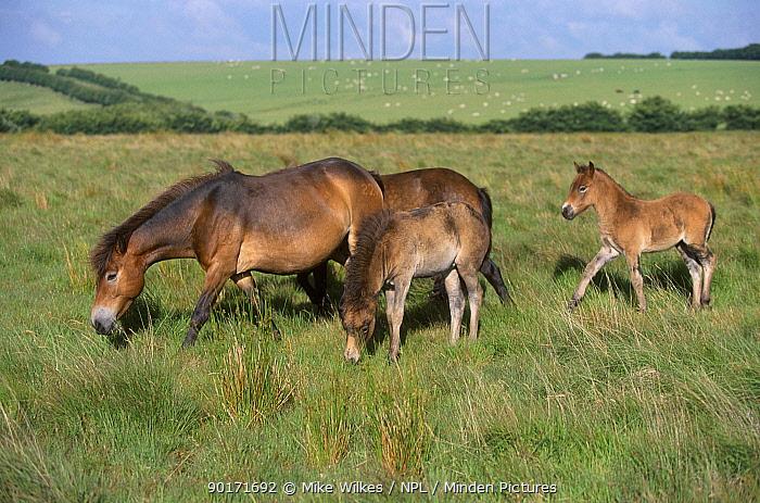 Exmoor ponies with foals (Equus caballus) Exmoor NP Devon England UK  -  Mike Wilkes/ npl