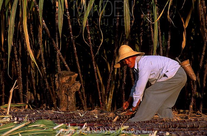 Dai man working in sugar cane field (ethnic minority group) Xishuangbanna, Yunnan, China  -  Pete Oxford/ npl