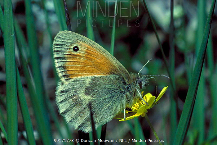 Small Heath Butterfly (Coenoympha pamphilus)  -  Duncan McEwan/ npl